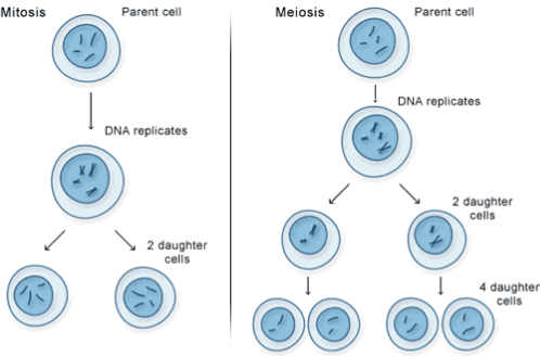 Natural Selection- Mitosis vs. Meiosis