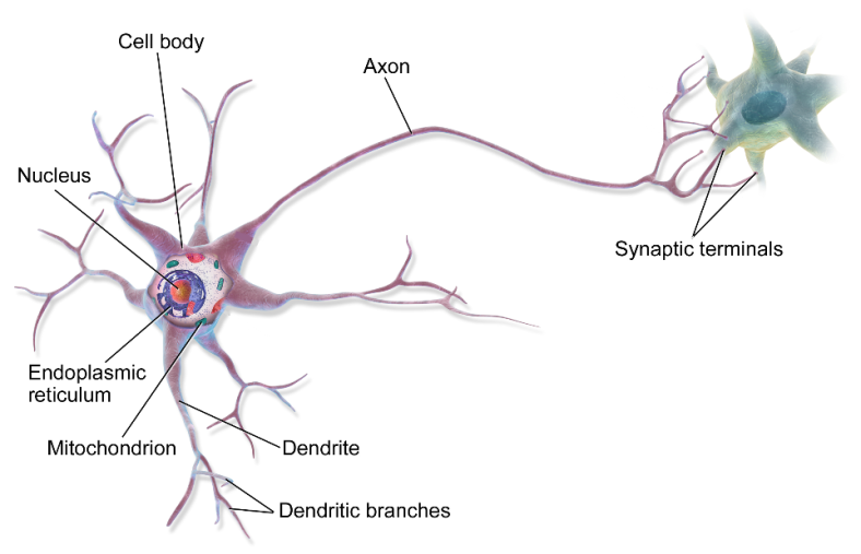 Brain- Neuron (1)
