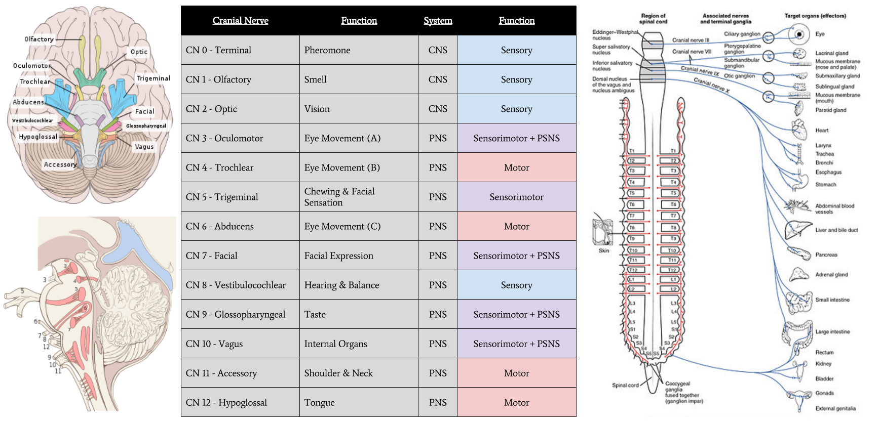 graphic] cranial nerves | fewer lacunae, Human Body