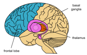 Basal Ganglia- Anatomy (1)