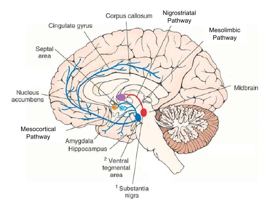 basal-ganglia-major-pathways