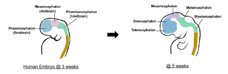 Brain Ontogeny- Vesicle Differentiation Chronology
