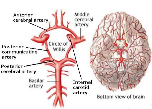 Neuroendocrine- Circle Of Willis