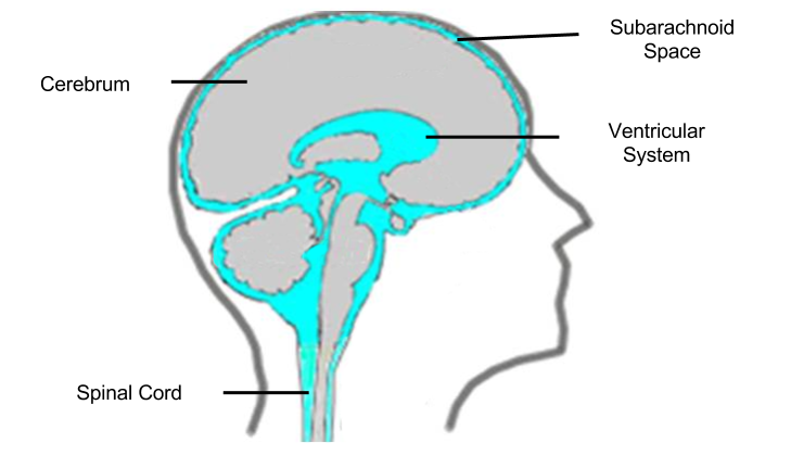 Neuroendocrine- Ventricles and CSF