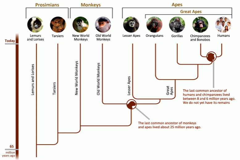 Primate Societies- Phylogeny