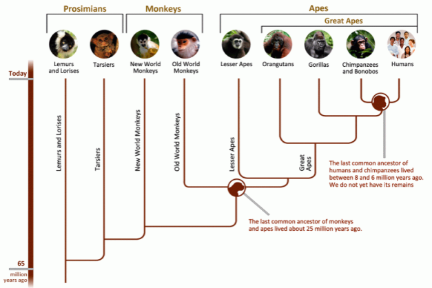 Primate Societies- Phylogeny