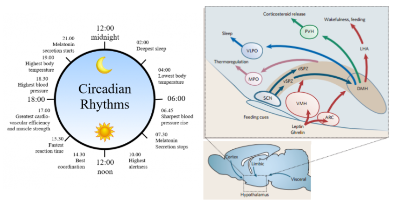 sleep-hypothalamic-circadian-pathway-1