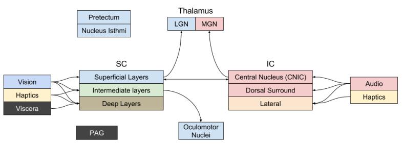 bg-evolution-corpora-quadrigemina-tectum-layers