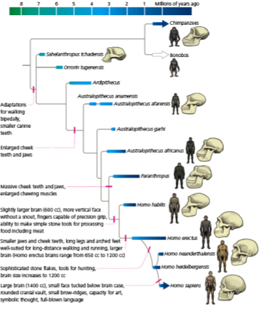 Human Deep History_ Homo Sapiens Phylogeny (3)