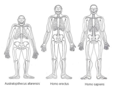 Cooking_ Hominin Anatomy Comparison