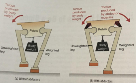 Bipedality_ Abductor Muscles (4)