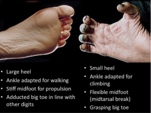 Bipedality_ Foot Differences (3)