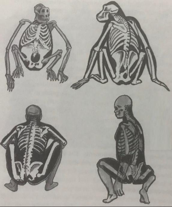 Bipedality_ Squatting Posture.png