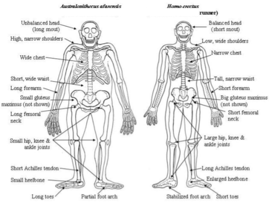 Born To Run_ Hominin Anatomy (4)